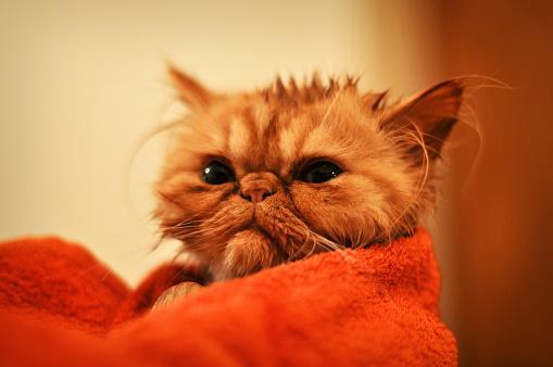 foto de Como dar banho a seco nos gatos