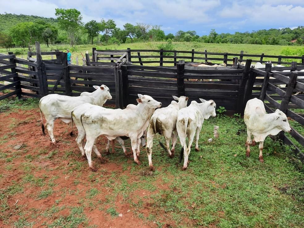 foto de Polícia Civil prende fazendeiro suspeito de roubar 40 cabeças de gado em Santo Antônio de Posse