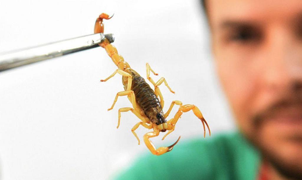 foto de Butantan disponibiliza curso online sobre escorpião